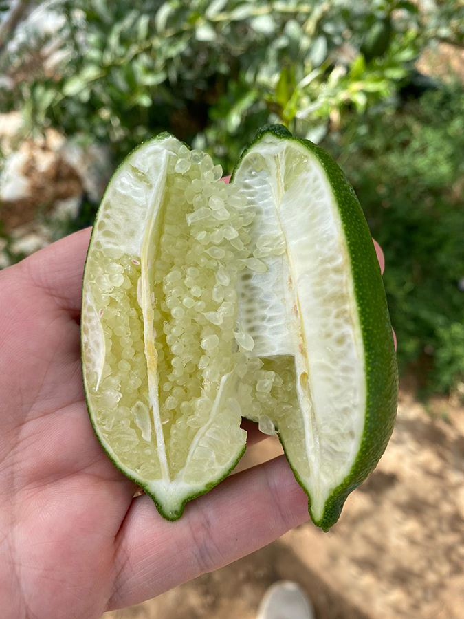 Agrumes bio en Provence