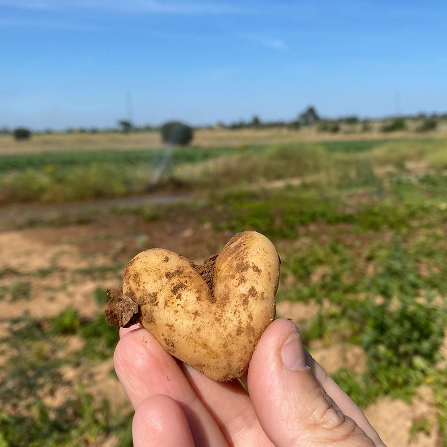 Pomme de terre bio en forme de cœur